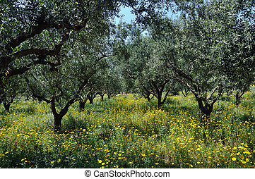 olive trees plantation and wild flowers - Olive trees...