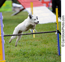 Spanish Water Dog in Agility competition - Spanish Water Dog...