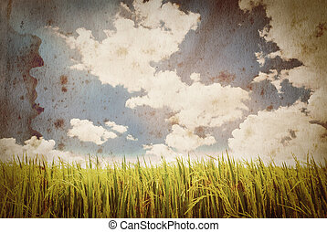 paddy rice on extra large old grunge paper for background -...