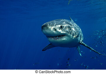 Great White Shark - Carcharodon carcharias Guadeloupe...