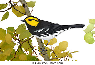 Golden-cheeked Warbler on aspen - Golden-cheeked Warbler...