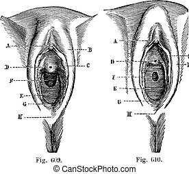 Fig 609 Vulva in the little girl Fig 610 Vulva in the little...