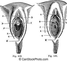 wenig, Vulva, 609, Feige, Weinlese, m�dchen, m�dchen,...