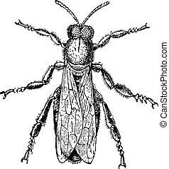 Male bee or drone, vintage engraving - Male bee or drone,...