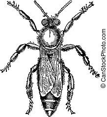 Female or queen bee, vintage engraving. - Female or queen...