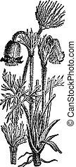 Anemone pulsatilla or Pulsatilla vulgaris, vintage...