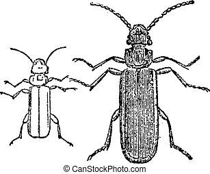 Cucujo beetle, vintage engraving.