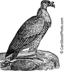 Vulture, vintage engraving.