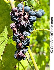 Bad grapes macro shot - Close-up sot of bad grapes
