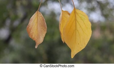 autumn background - Trees shed their leaves in autumn, when...