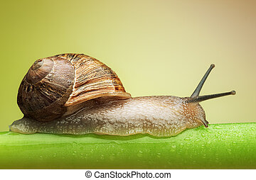 Snail on green stem - Common garden snail crawling on green...