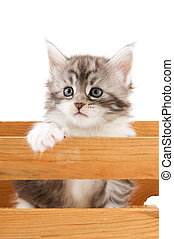 Main coon kitten - Young Main Coon kitten in wooden crate