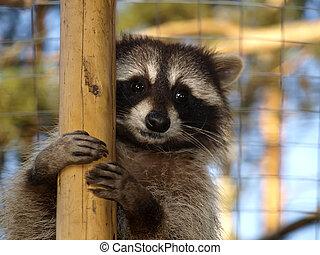 Cute raccoon       - Cute raccoon in the zoo