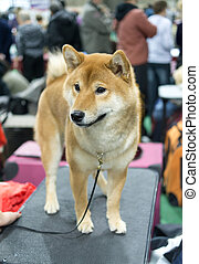 Shiba Inu - Japanese Breed Shiba Inu on table at dog show