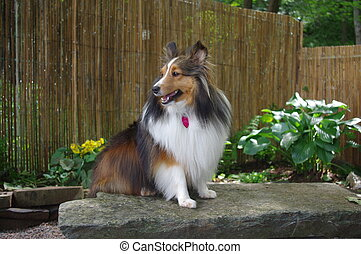 Sheltie Sitting on Stone Bench - Sheltie sitting on a stone...