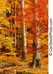 beech forest in fall 28