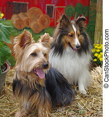 Silky Terrier and Sheltie at the Farm - Silky Terrier and...