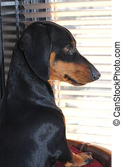 Miniature Dachshund in Window - Black tan miniature...