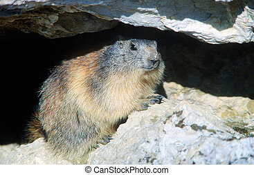 Marmot hiding under a rock in french alps
