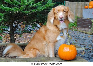 Duck Tolling Retriever with Pumpkin - Nova Scotia Duck...