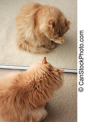Persian cat cleaning her face in front of mirror