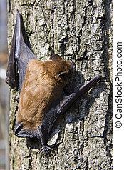 Common noctule (Nyctalus noctula) - Common noctule on a tree...