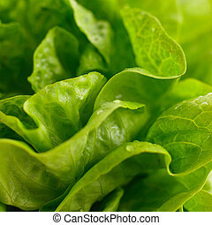 lettuce - fresh raw salad