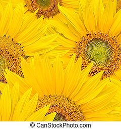 background made of beautiful sunflowers - sunflower...