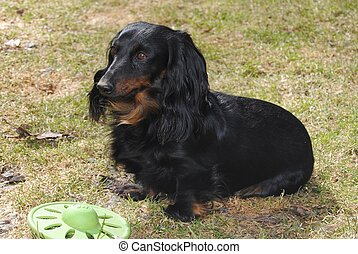 Longhaired Miniature Dachshund