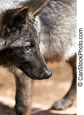 North American Wolf - Young male North American wolf staring...