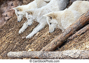 North American Wolf - Three North American wolves staring...