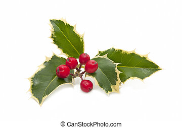 holly on white background - holly plant with berries...