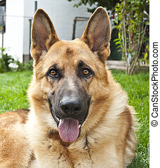 Portrait of German shepherd