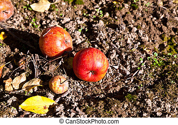 windfall apples at the ground