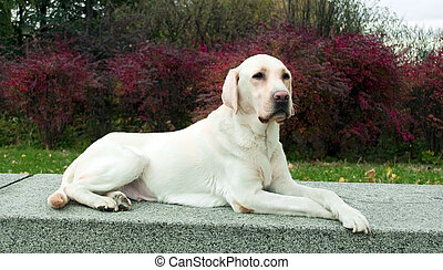 Labrador Retriever posing in park