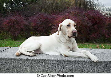 Labrador Retriever resting in park