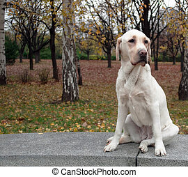 Labrador Retriever posing in autumn park