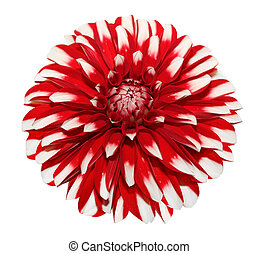 White Red Dahlia - Single fresh white red dahlia flower...