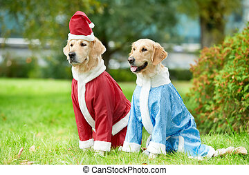 two golden retrievers dogs in new year clothing