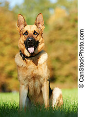 one German Shepherd Dog - two German Shepherd Dogs sitting...