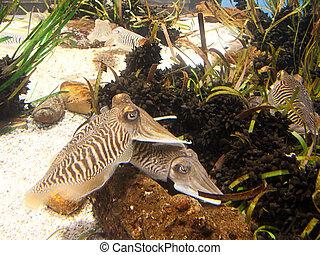 Cuttlefish close up Underwater aquatic life