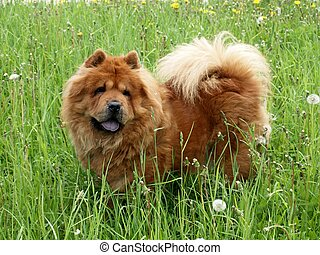 Brown chow chow dog in the green grass