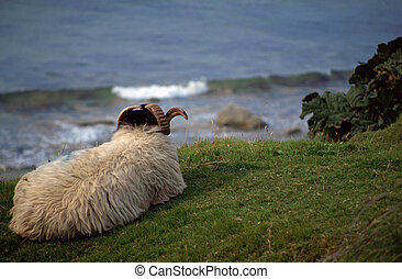 Shetland sheep at the seaside - Shetland sheep with horns...