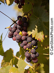 Grapes prosper well at the housewall because of the sunshine...
