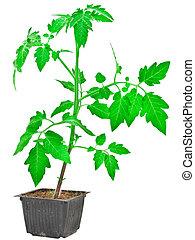 Tomato plant isolated on white background