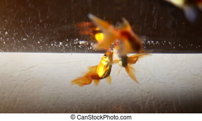 gold fish - Gold fish in aquarium