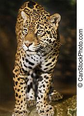 Jaguar - Close-up shot of a singel Jaguar cat looking into...