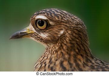 Spotted Dikkop - Close-up profile shot of a Cape Thick-knee...