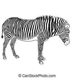 One zebra. Vector illustration