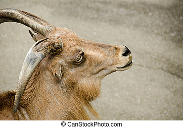 Head of a wild goat - Head of a Alpine ibex, a species of...